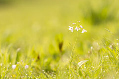 Cuckooflower cardamine pratensis blooming in a wet and fresh m Royalty Free Stock Image