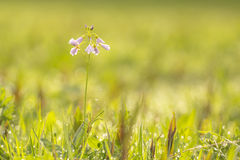 Cuckooflower cardamine pratensis blooming in a wet and fresh m Stock Photography