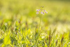 Cuckooflower cardamine pratensis blooming in a wet and fresh m. Cuckooflower, Cardamine pratensis, blooming in a wet and fresh meadow during spring. This plant Royalty Free Stock Images