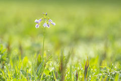 Cuckooflower cardamine pratensis blooming in a wet and fresh m Royalty Free Stock Photo