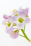 Cuckooflower. Cardamine pratensis. Close up of cuckoo flower. Cardamine pratensis in vertical composition Stock Photography