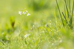 Cuckooflower cardamine pratensis kwitnienie w mokrym i świeżym m Zdjęcia Stock