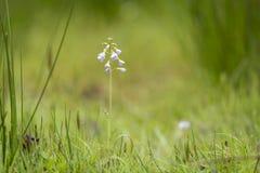 Cuckooflower cardamine pratensis kwitnienie w mokrym i świeżym m Obrazy Royalty Free