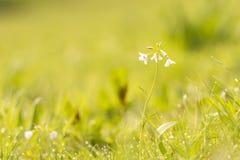 Cuckooflower cardamine pratensis kwitnienie w mokrym i świeżym m Obraz Royalty Free