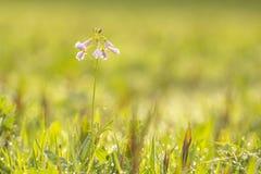 Cuckooflower cardamine pratensis kwitnienie w mokrym i świeżym m Fotografia Stock