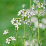 Cuckooflower del prato Immagine Stock