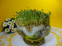 Cuckooflower , Fresh cress for Easter in a glass dish Royalty Free Stock Photos