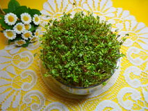 Cuckooflower , Fresh cress for Easter in a glass dish Stock Photo