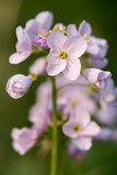 Cuckooflower or lady`s smock Cardamine pratensis flower spike. Perennial plant in the cabbage family Brassicaceae, flowering in Spring in the UK Royalty Free Stock Photos