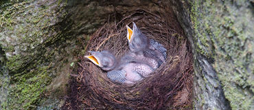 Cuckoos in nest. Two young cuckoos in nest royalty free stock photos