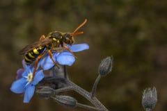 Cuco-abeja de Nomada Imagenes de archivo