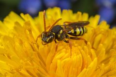 Cuco-abeja de Nomada en un diente de león Fotografía de archivo libre de regalías
