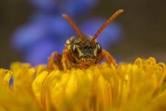 Cuco-abeja de Nomada en un diente de león Foto de archivo