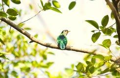 Cuco esmeralda asiático imagenes de archivo