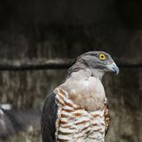 Cuco-falcão africano Imagem de Stock Royalty Free