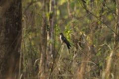 Cuculidaefågel Arkivbild
