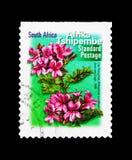 Cucullatum de pélargonium, faune et serie de flore, vers 2000 images libres de droits