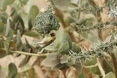 Cucullatus Ploceus птицы ткача деревни Стоковая Фотография RF