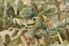 Cucullatus Ploceus птицы ткача деревни Стоковые Изображения