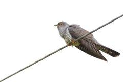 Cuculus canorus, Common Cuckoo. Wild bird in a natural habitat. Wildlife Photography Stock Images