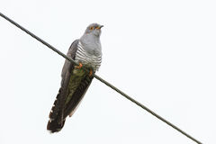 Cuculus canorus, Common Cuckoo. Wild bird in a natural habitat. Wildlife Photography Royalty Free Stock Image