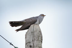 Cuculus canorus, Common Cuckoo. Royalty Free Stock Photography