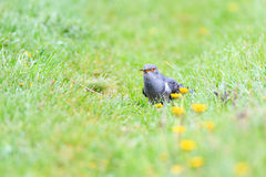 Cuculus canorus, Common Cuckoo. Royalty Free Stock Images
