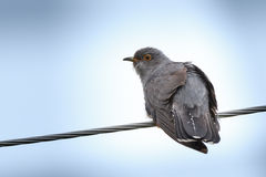 Cuculus canorus, Common Cuckoo. Royalty Free Stock Photo