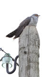 Cuculus canorus, Common Cuckoo. Royalty Free Stock Image