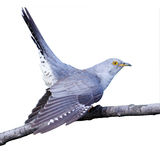 Cuculus canorus, Common Cuckoo. Common Cucko (Cuculus canorus) in front of white background, isolated Stock Photo