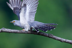 Cuculus canorus, Common Cuckoo Royalty Free Stock Photography