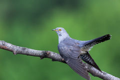 Cuculus canorus, Common Cuckoo. Wild bird in a natural habitat. Wildlife Photography Stock Photography