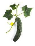 Cucumber. With creeping vine, leaves and flower Royalty Free Stock Photography