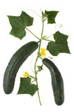 Cucumber. S with creeping vine, leaves and flower Stock Photos