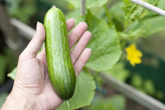 Cucumber. Freshly picked cucumber in a hand royalty free stock images