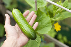 Cucumber. Freshly picked cucumber in a hand royalty free stock image