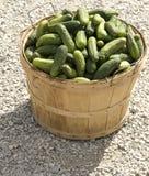 Cucumber. Bushel basket full of freshly harvested cucumbers Stock Photo