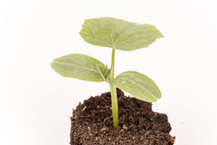 Cucumber baby plant in soil with roots over white Stock Images