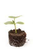 Cucumber baby plant in soil with roots over white Stock Image
