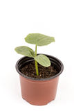 Cucumber baby plant in soil with roots over white Royalty Free Stock Image