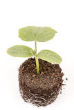 Cucumber baby plant in soil with roots over white Stock Photo