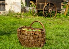 Cucumber on basket isolated on green grass with old cart in background Royalty Free Stock Photo