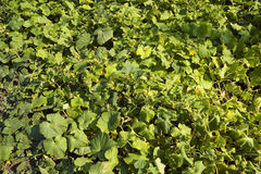 Cucumber bed. Haulm Royalty Free Stock Image