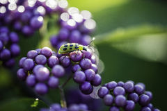 Cucumber beetle on a bunch of purple berries Royalty Free Stock Photo