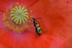 Cucumber Beetle Eating Poppy Pollen 03 Royalty Free Stock Image