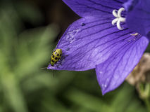 Cucumber beetle on flower in summer Stock Photo