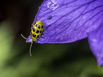 Cucumber beetle on flower in summer Stock Photos
