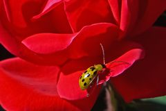Cucumber Beetle on a rose stock image