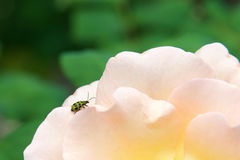 Cucumber beetle on a rose Stock Photography