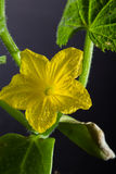 Cucumber bloom Royalty Free Stock Image
